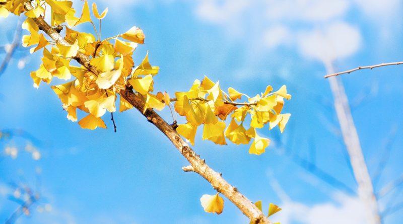 GINKGO BILOBA | Planta Medicinal importante para la salud y denominada «Planta de la Juventud»