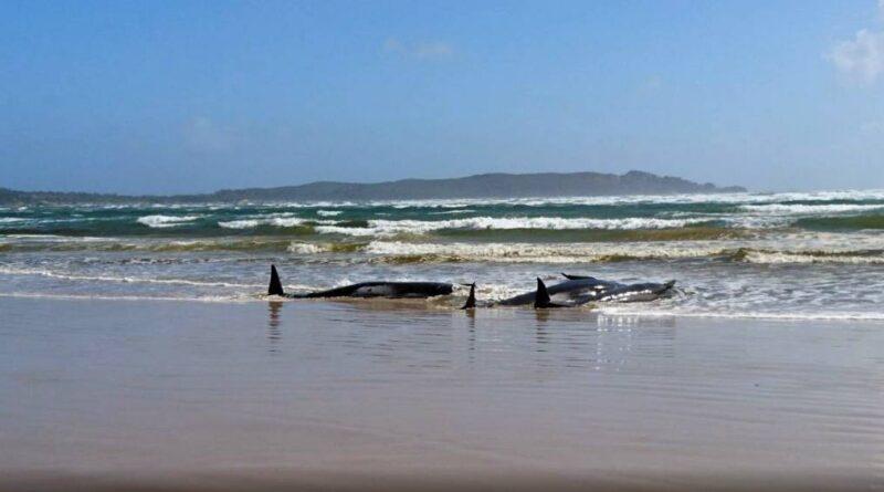 Cientos de ballenas piloto mueren varadas en la costa sur de Australia