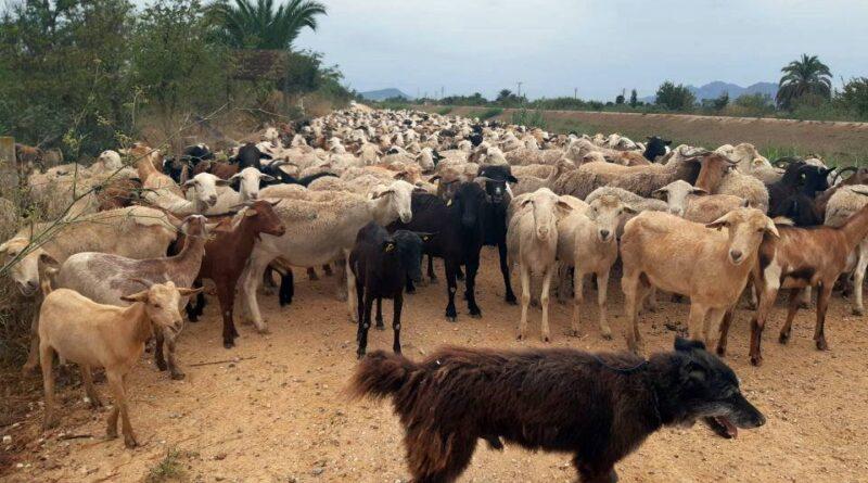 La CHS autoriza labores de pastoreo en el cauce del río Segura en la Vega Baja